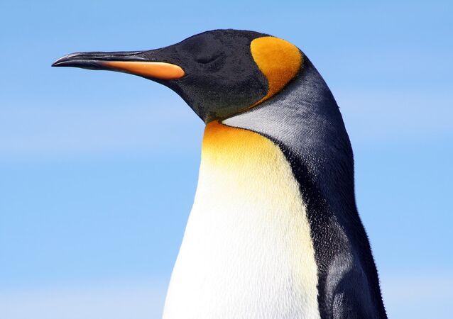 King penguin at the Falkland Islands.