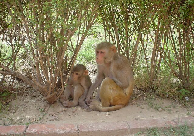 One female and one young Rhesus Macaque