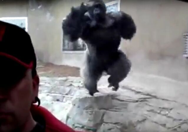 Monstrous gorilla tries to attack zoo visitor through glass