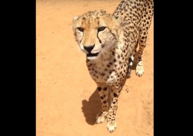 Have you ever heard meowing Cheetah?