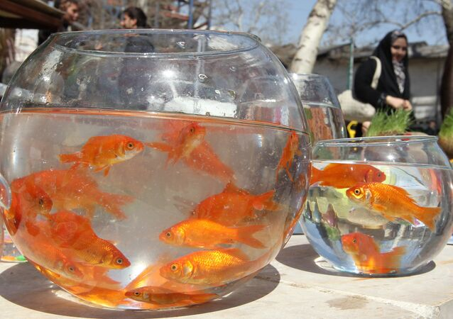 Goldfish swim in bowls at a market in Tehran on March 19, 2012