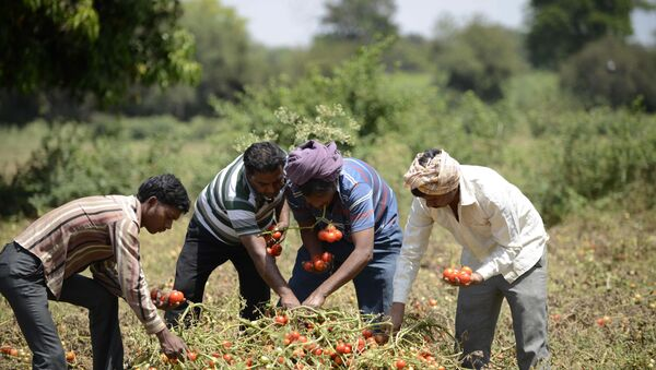 Indian farmers Kalidas Devipujak(3R),Manubhai Talpada(2R)and Navghanbhai Talpada(R)are joined by a colleague as they pluck ripe tomatos in a field in the village of Alindra, Nadiad Taluka District some 55kms from Ahmedabad - Sputnik International
