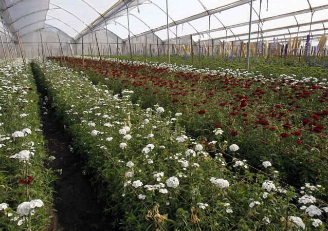 Flowers grow in a greenhouse on the Valleflor flower farm in Pifo, Ecuador.