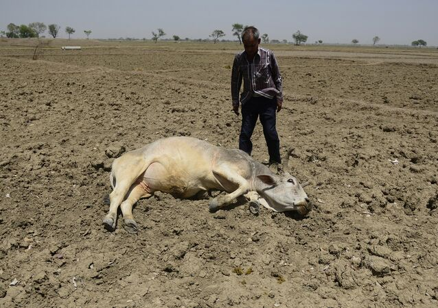 An India farmer tries to revive his unconscious cattle dying on an unploughed field during a water crisis in Gondiya village, 45km from Allahabad, on April 21, 2016