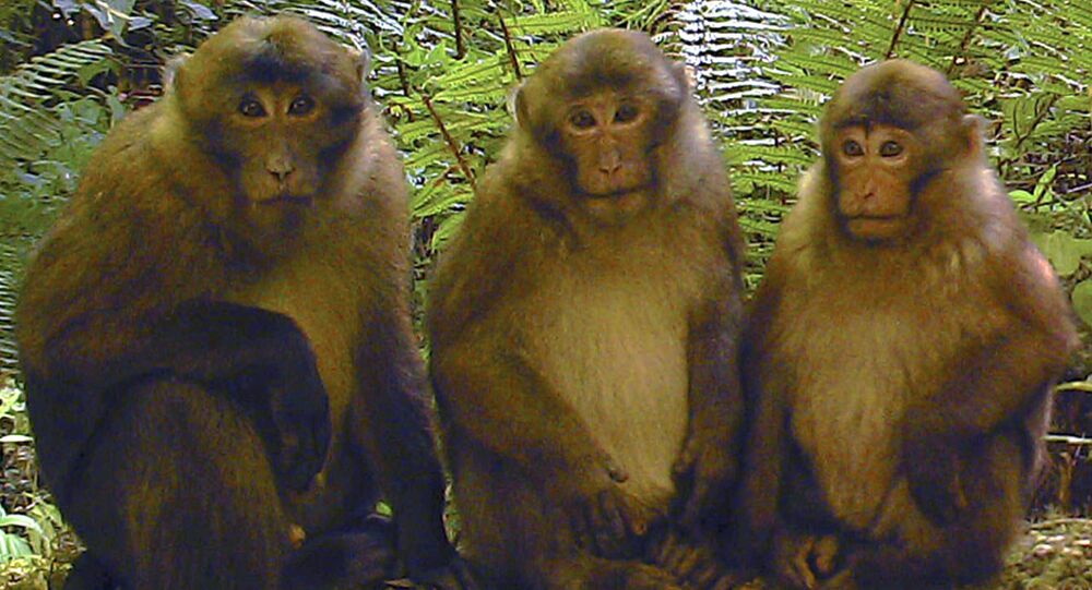 White-cheeked macaques (Macaca leucogenys)