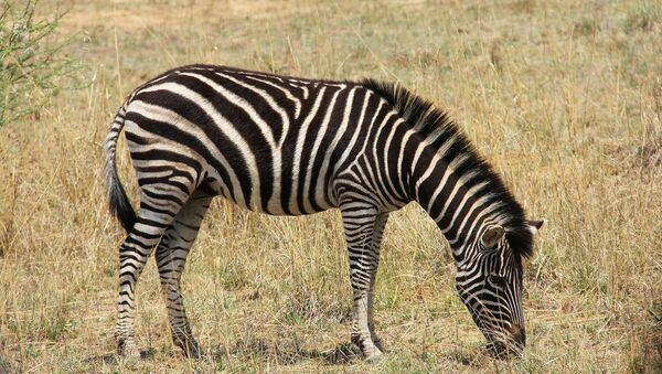 Zebra - Sputnik International