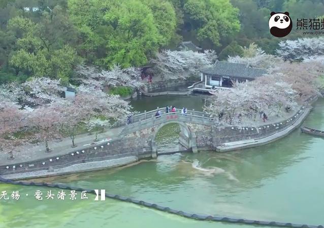 Wuxi's Yuantouzhu: Cherry blossom