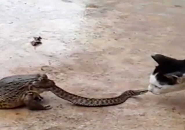 Cat's not sure what to make of snake in toads mouth