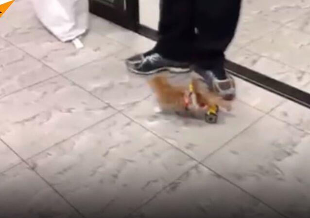Paralyzed Kitty Runs Again!