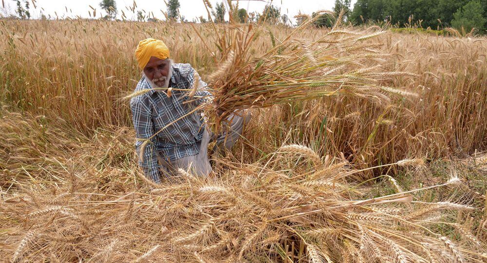 Indian farmer sits among his ripening wheat crop in a field