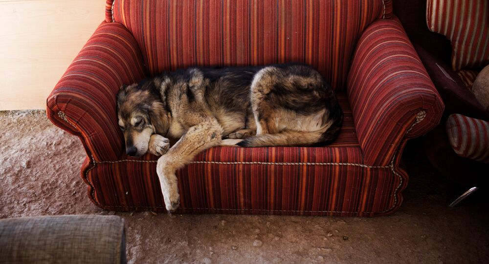 A dog rests on a couch, Vafa, the first animal shelter in Iran