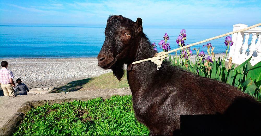 Obama The Goat