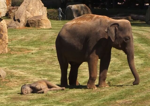 Mother Elephant and Her Sleepy Baby