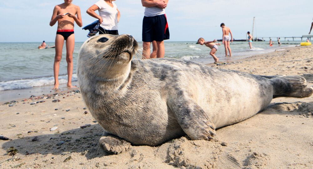Baltic gray seal on a Zelenogradsk city beach