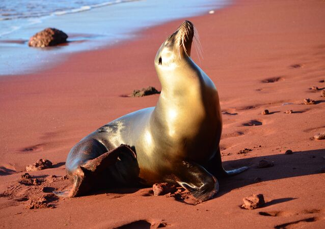 Sea Lion, Galápagos Islands