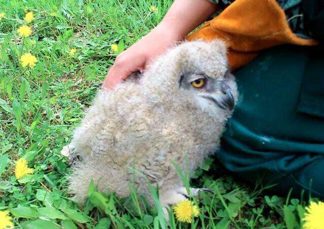 Eagle Owl Gets a Back Rub