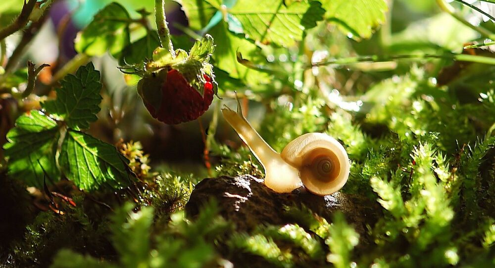 snail eating a strawberry