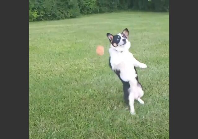 Dog Can't Catch Bal
