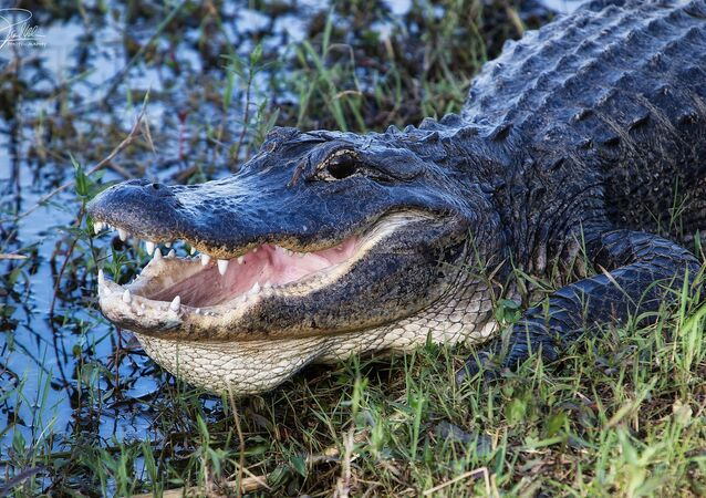 8-Foot Alligator Found in Florida With Man's Body in Its Mouth