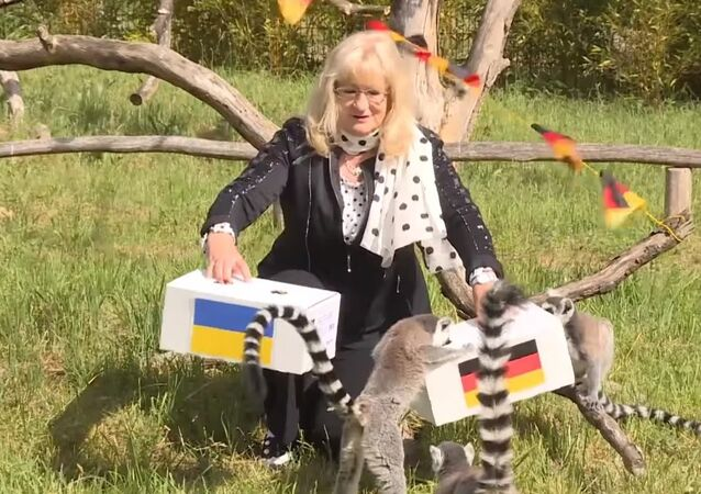 Lemurs Predict the Results of the Match Between Germany and Ukraine at Euro-2016