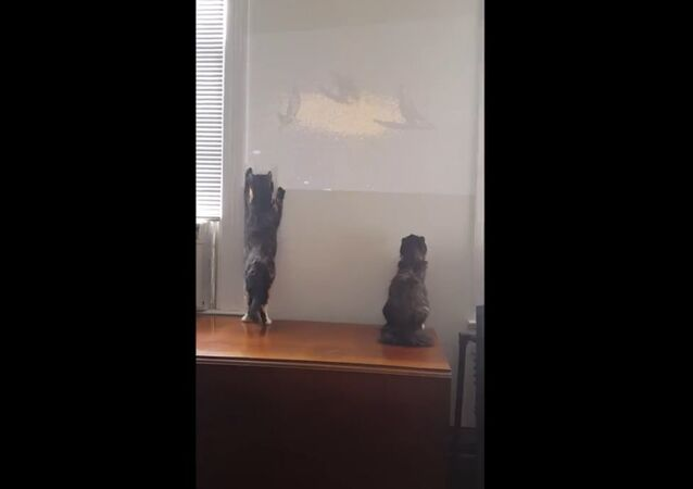 Cat Attacks Birds Projected on Wall
