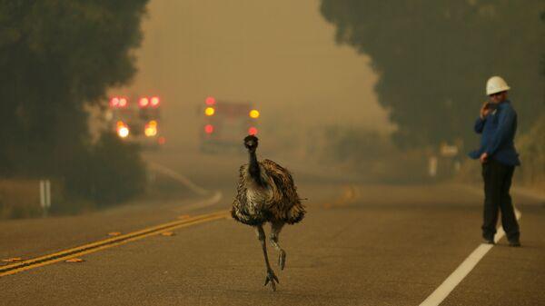 Страус убегает из зоны лесных пожаров в Калифорнии, США - Sputnik International
