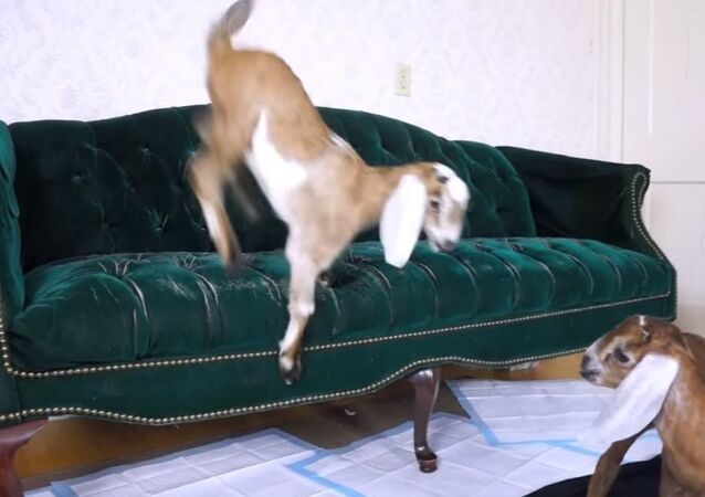 Baby Goat Learns to Jump on Couch