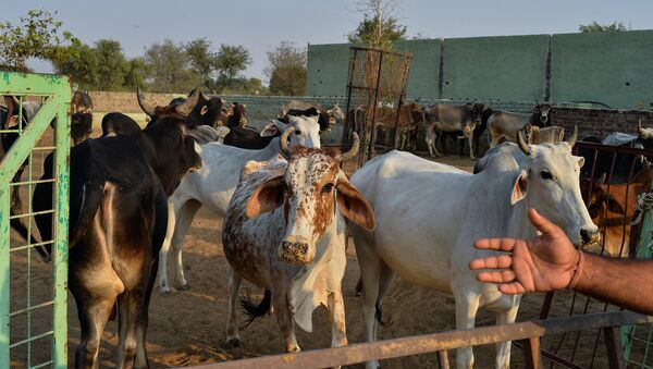 In this photograph taken on November 5, 2015, cows gather at a cow shelter owned by Babulal Jangir, a rustic self-styled leader of cow raiders, and Gau Raksha Dal (Cow Protection Squad) in Taranagar in the desert state of Rajasthan - Sputnik International