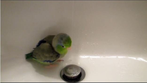 This Cute Parrotlet Really Enjoys a Shower