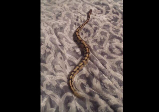Ball python on a fleece throw