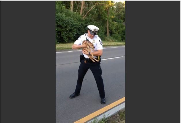 Police Officer Rescues Confused Fawn From Road