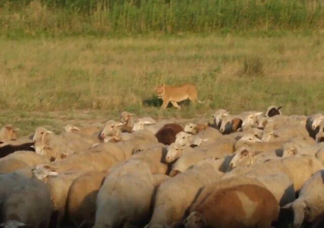 Masha, a Lioness Who Herds Sheep