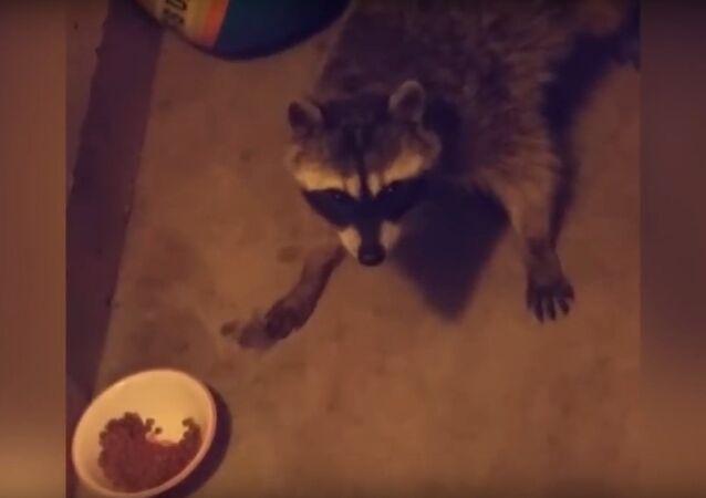 Raccoon Steals Cat Food