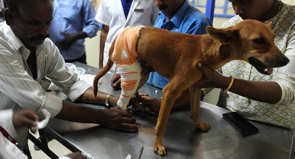 Indian vets treat an injured dog known as 'Badhra' at Tamil Nadu Veterinary University Hospital in Chennai on July 6, 2016