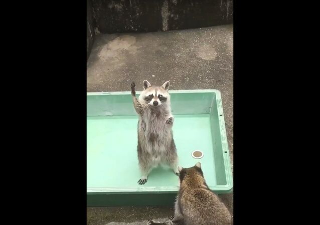 Unhappy That The Treats Never Get To Him, This Raccoon Tells Everyone That It Is His Turn
