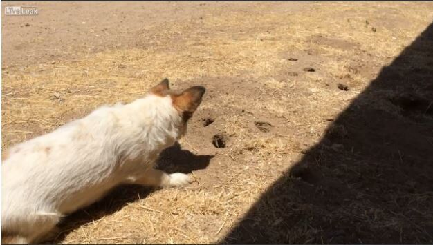 Dog Gets Punked by a Gopher