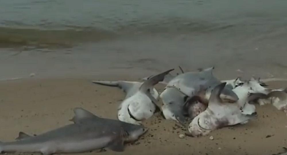 Dozens of Dead Sharks Wash Up on Alabama Beach
