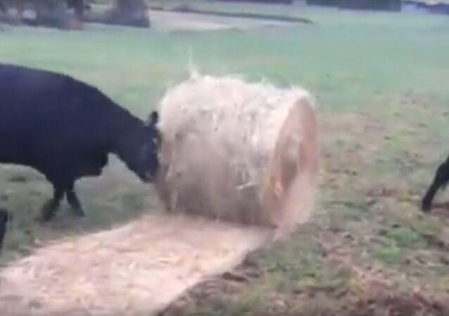 Hay Bales are Rollin' Rollin' Rollin'