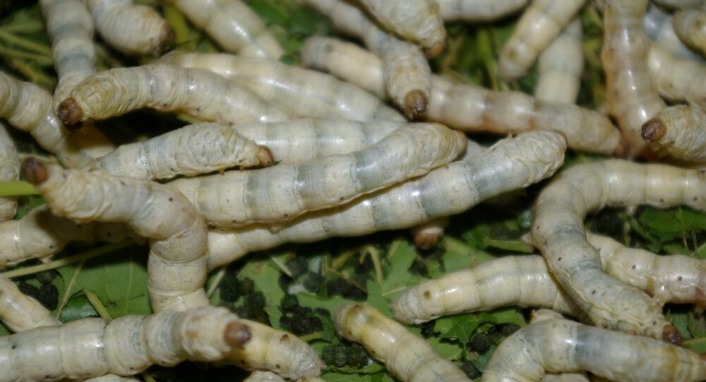 Silk Worms