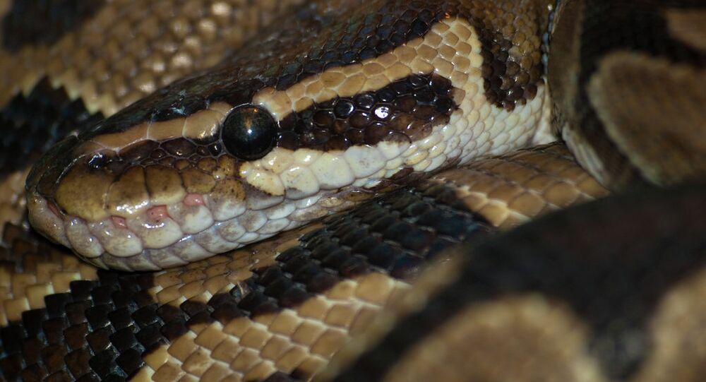 Royal python at Marwell Zoo