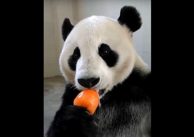 Just a panda enjoying his popsicle