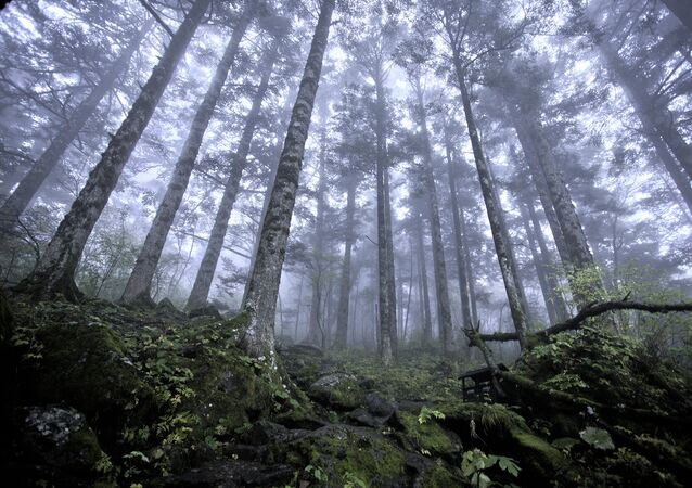 Virgin forest at approx 2500m above sea level, Shennongjia Forestry District
