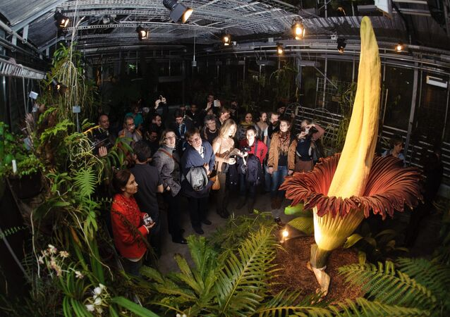 Visitors look at the Arum Titan Amorphophallus titanum, the largest flower in the world.