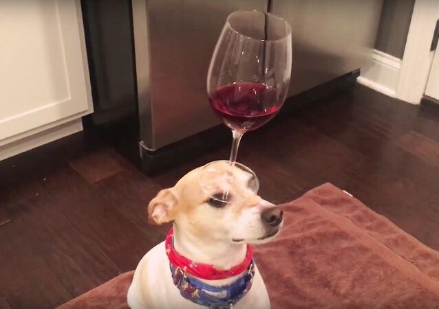 Dog Balances Red Wine in Wine Glass on Head Video