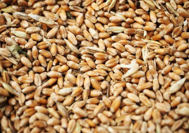 Wheat grain crops