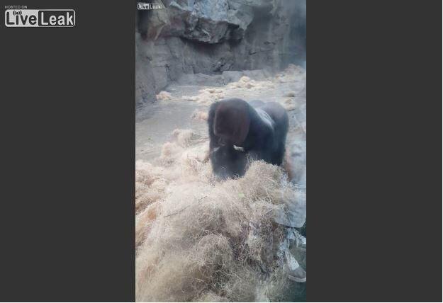 Boston Zoo Gorilla Attacks