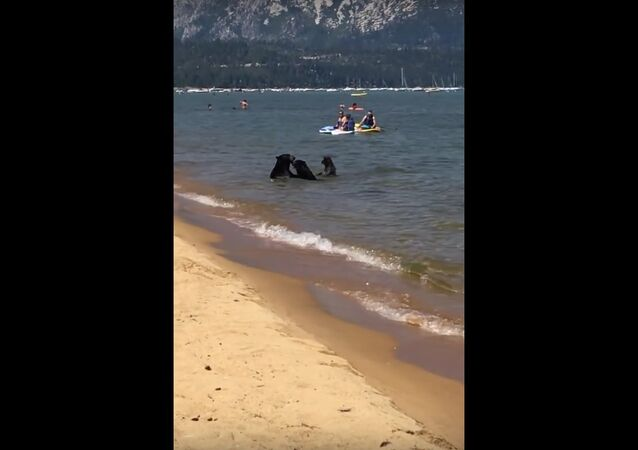 Bears Come Down to Beach to Swim Amongst Humans in Lake Tahoe