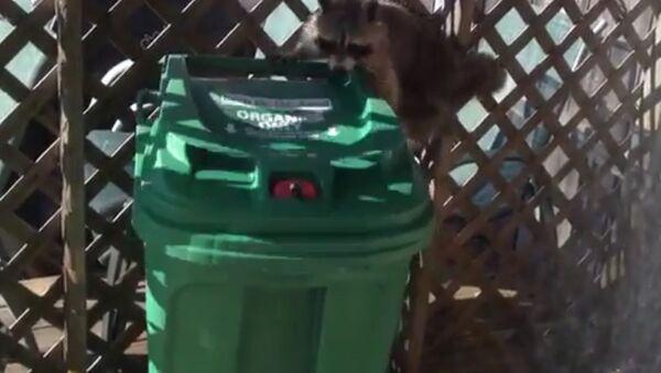 Raccoon stole a trash can - Sputnik International