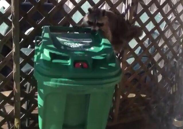 Raccoon stole a trash can