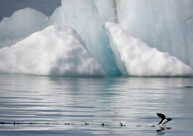 A little auk (Alle-alle) flies near the Kronebeene glacier in the Svalbard archipelago, in the Arctic Ocean, on July 21, 2015